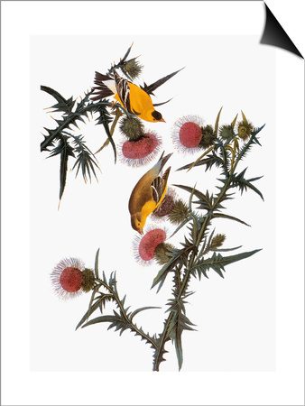 Audubon: Goldfinch Prints by John James Audubon