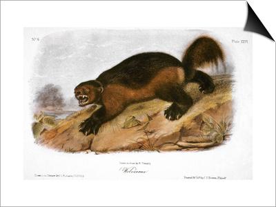 Wolverine Prints by John James Audubon