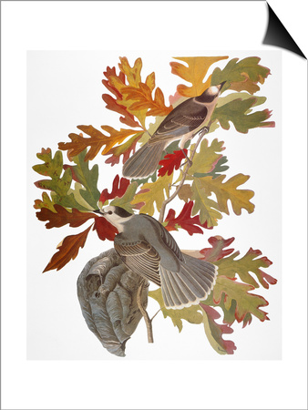 Audubon: Jay Posters by John James Audubon