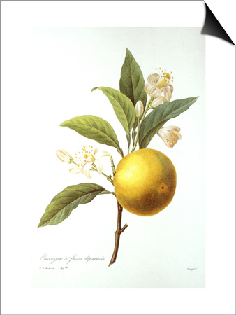 Orange Tree Prints by Pierre-Joseph Redouté
