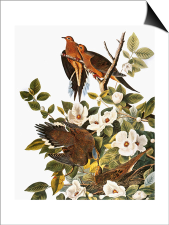 Audubon: Dove Prints by John James Audubon
