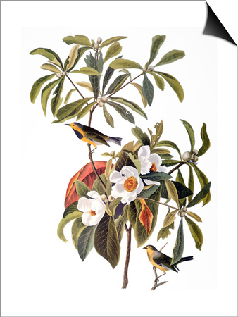 Audubon: Warbler, 1827-38 Print by John James Audubon