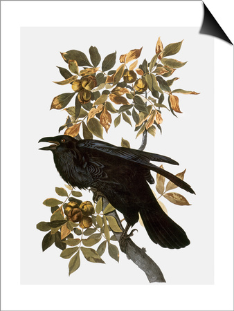 Audubon: Raven Posters by John James Audubon