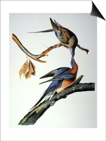 Audubon: Passenger Pigeon Prints by John James Audubon