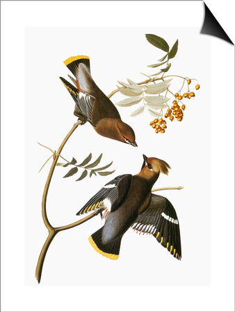 Audubon: Waxwing Print by John James Audubon