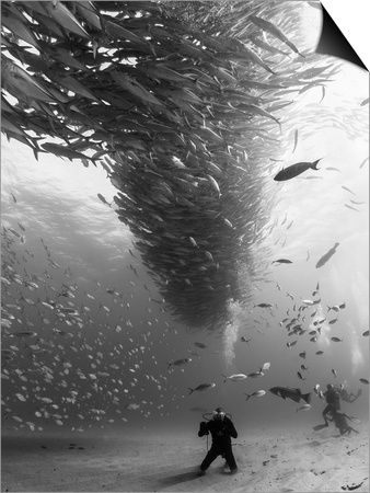 A School of Fish Circle Divers in the Sea of Cortez, Mexico. Prints by Christian Vizl