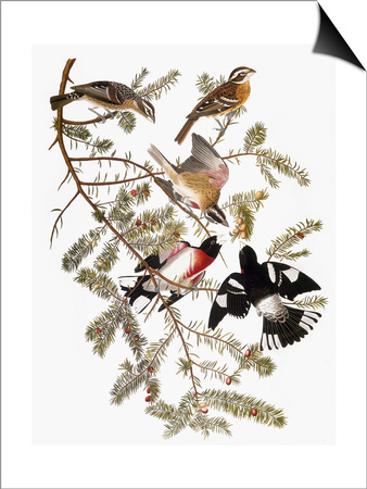 Audubon: Grosbeak Prints by John James Audubon