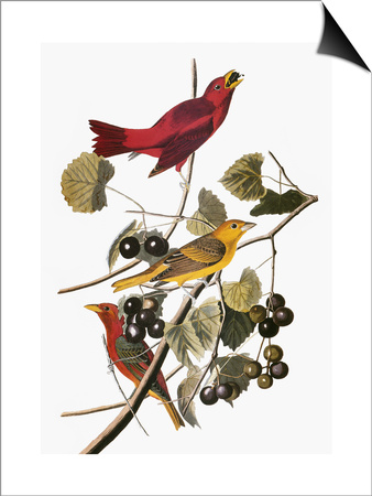 Audubon: Tanager Art by John James Audubon