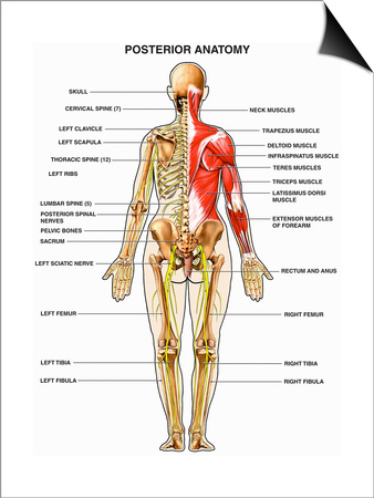 The Human Muscular, Skeletal, and Nervous Systems Shown from a Back Poster by  Nucleus Medical Art