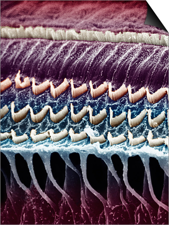 Hair Cells in a Mammal Cochlea, the Portion of the Inner Ear That Is Responsible for Hearing Prints by  Kessel & Kardon