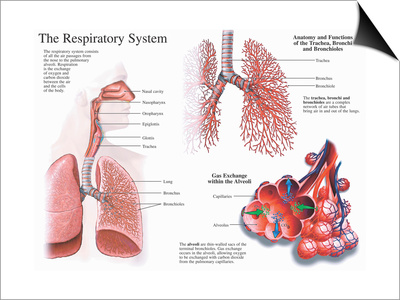 Illustration of the Anatomy of the Human Respiratory System and Lungs Poster by  Nucleus Medical Art