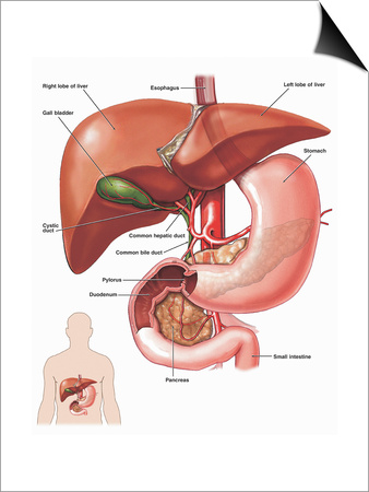 Illustration of the Anatomy of the Liver, Gallbladder, and Biliary System from an Anterior Prints by  Nucleus Medical Art