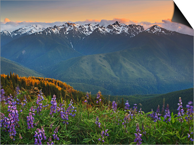Early Summer Storm Clears the View of the Olympic Mountains, with Lupine Wildflowers Posters by Geoffrey Schmid