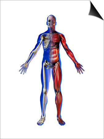 Human Male Figure Showing Skeletal and Musculature Posters by Carol & Mike Werner