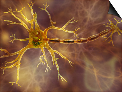 Biomedical Illustration of a Neuron, Showing the Dendrites, Cell Body, and Axon Posters by Carol & Mike Werner