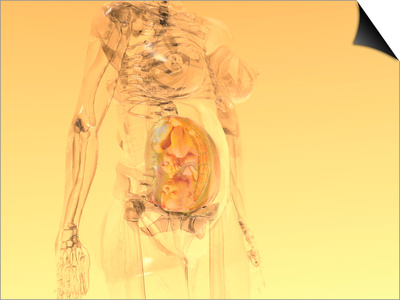 Glass Model of a Pregnant Woman, Third Trimester 29-40 Weeks Posters by Carol & Mike Werner