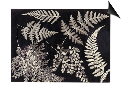 Ferns, C.1880 Prints