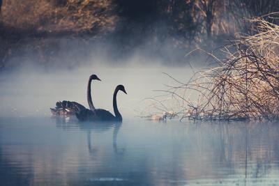 Swans on Misty Lake Tarawera, New Zealand Photographic Print by Elaine W Zhao