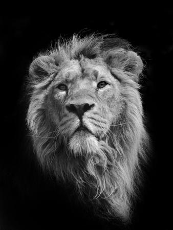The King (Asiatic Lion) Fotografisk tryk af Stephen Bridson Photography