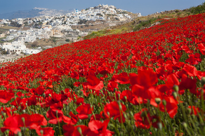 Red Poppies in Bloom above Pirgos, Santorini Photographic Print by Tom Pfeiffer / VolcanoDiscovery