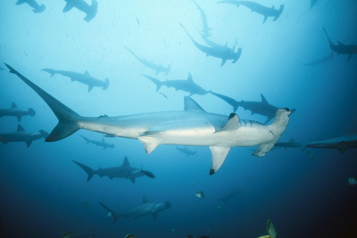 Scalloped Hammerhead Shark Photographic Print