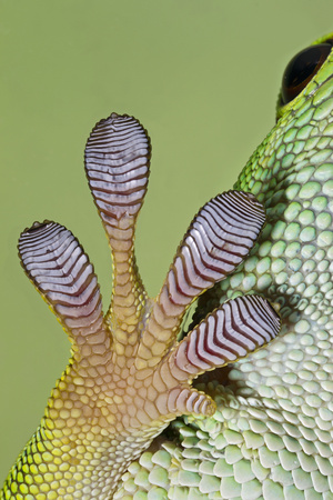 Day Gecko Close Up of Foot Photographic Print