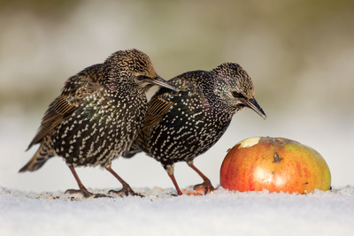 Starling in Snow Eating Apple Photographic Print