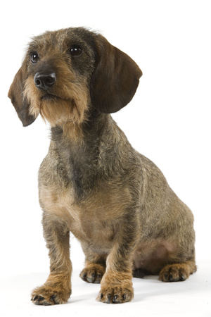 Wire-Haired Dachshund Photographic Print