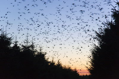 Starlings Going to Roost Photographic Print