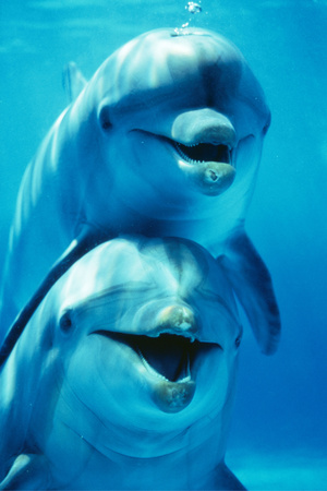 Bottlenose Dolphin Two, Facing, One on Top of the Other Photographic Print by Augusto Leandro Stanzani