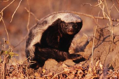 Honey Badger Photographic Print