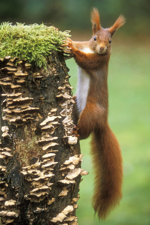 Red Squirrel Gripping to Side of Tree Stump Fotografisk tryk