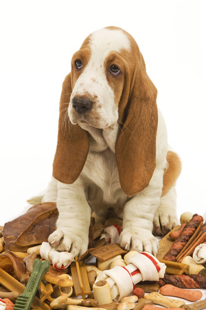 Dog Basset Hound in Studio Sitting on a Pile Photographic Print