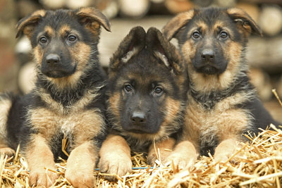 German Shepherd Three Puppies Photographic Print