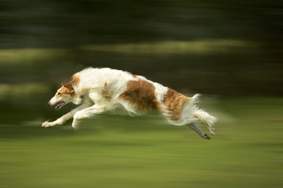 Russian Wolfhound Running Photographic Print