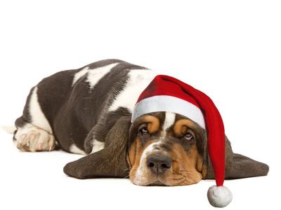 Basset Hound Lying in Studio Wearing Christmas Hat Photographic Print