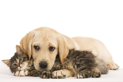 Cat and Dog Labrador Puppy and Norwegian Forest Cat Kitten Photographic Print
