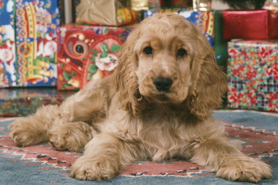 Cocker Spaniel, Lying by Presents Photographic Print