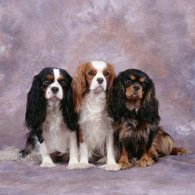 Cavalier King Charles Spaniel Dog Three in Line Photographic Print