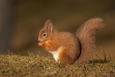 Red Squirrel Eating Nuts on Woodland Floor Fotografisk tryk