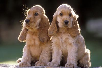 Cocker Spaniel Dogs Photographic Print