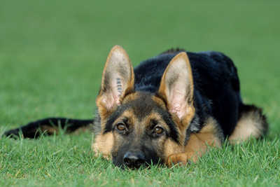 German Shepherd, Alsatian Dog Puppy Lying on Grass Photographic Print