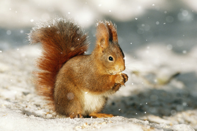 Red Squirrel Fotografisk tryk