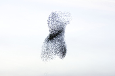 Starling Flock and Peregrine Falcon Photographic Print