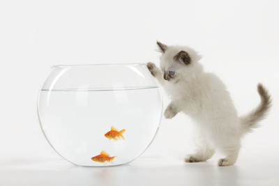 Kitten Watching Fish in Fish Bowl Photographic Print