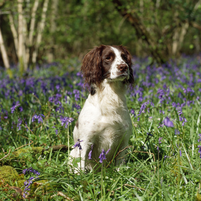 English Springer Spaniel Dog in Bluebells Photographic Print