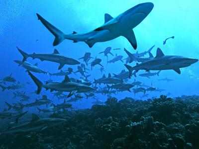Grey Reef Sharks Swimming into the Fakarava Lagoon Photographic Print