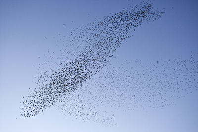 Starlings Mass Manouver in the Skys Above the Roosting Site Photographic Print