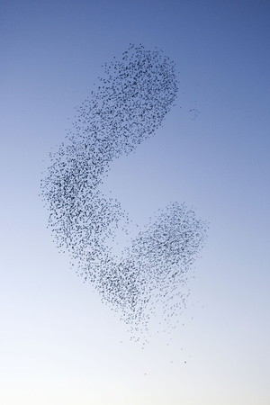 Starlings Shape Shifting Manoeuvres in the Sky Photographic Print