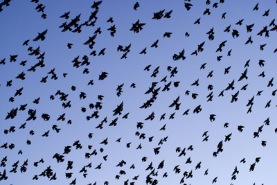 Starlings Close Up of a Mass of Birds in Flight Photographic Print